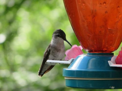 Colibri gorge rubis femelle - CaroleL
