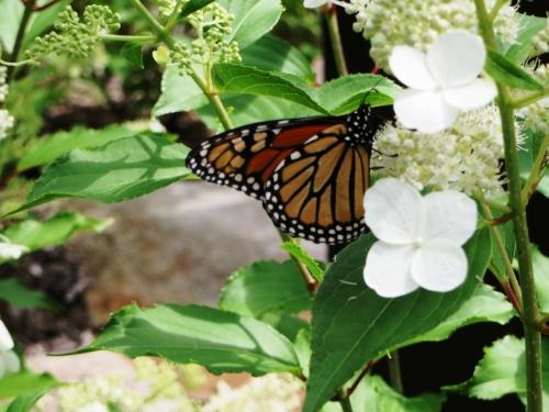 Papillon monarque (2013) CaroleL