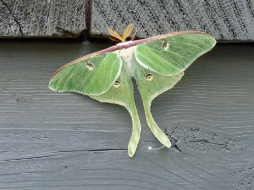 Papillon Actias Luna (2017?)